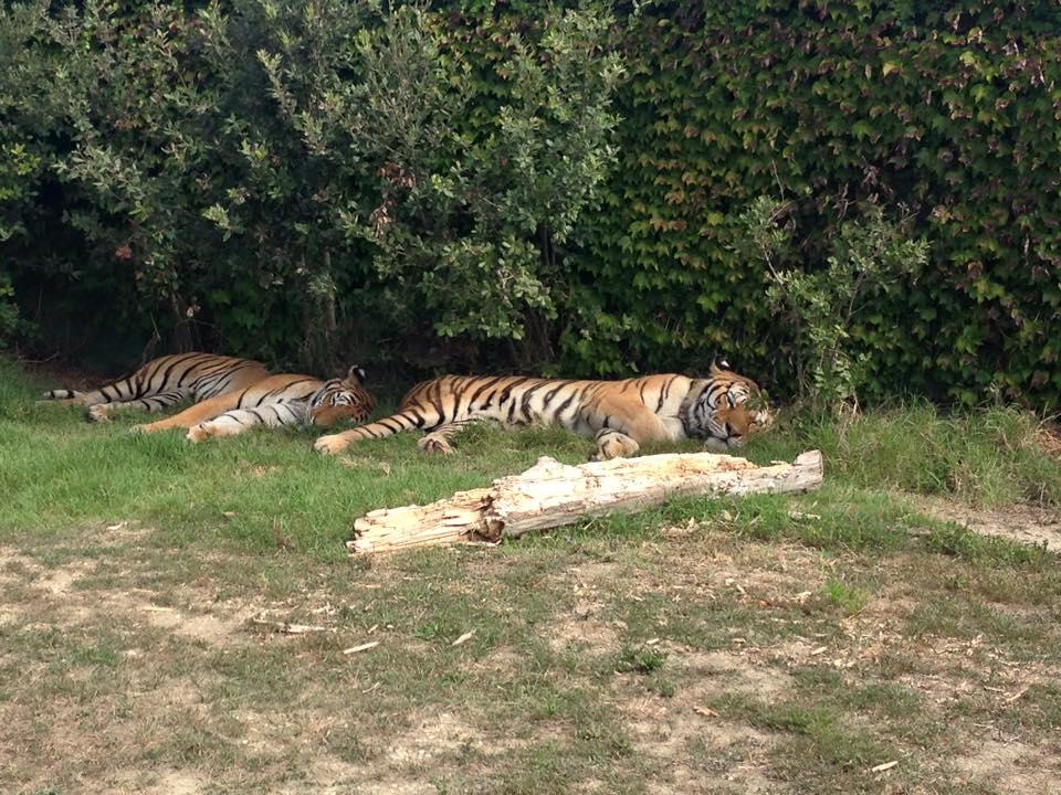 Tigri Zoo Safari Ravenna