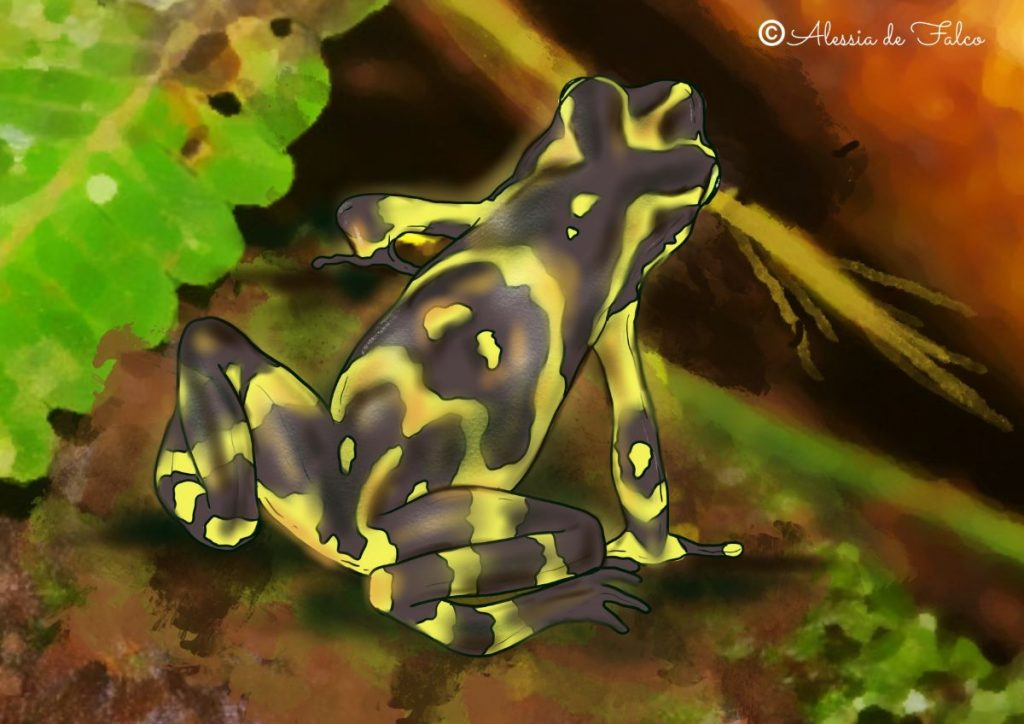 rana da colorare atelopus varius