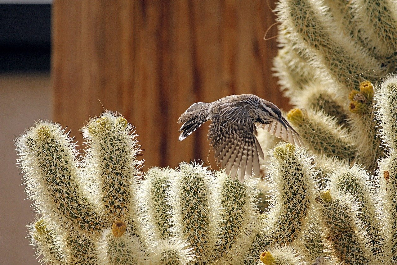 scricciolo del cactus