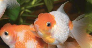 memoria dei pesci rossi